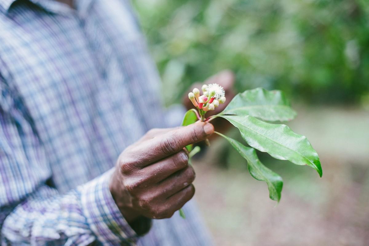 Nelken wachsen auf der Spicefarm auf Sansibar