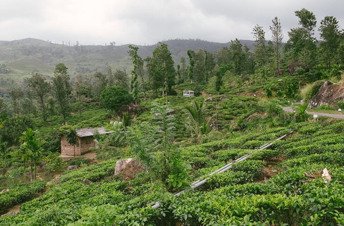 Sri Lanka Teeplantagen Hochland Reiseblog mit Kindern