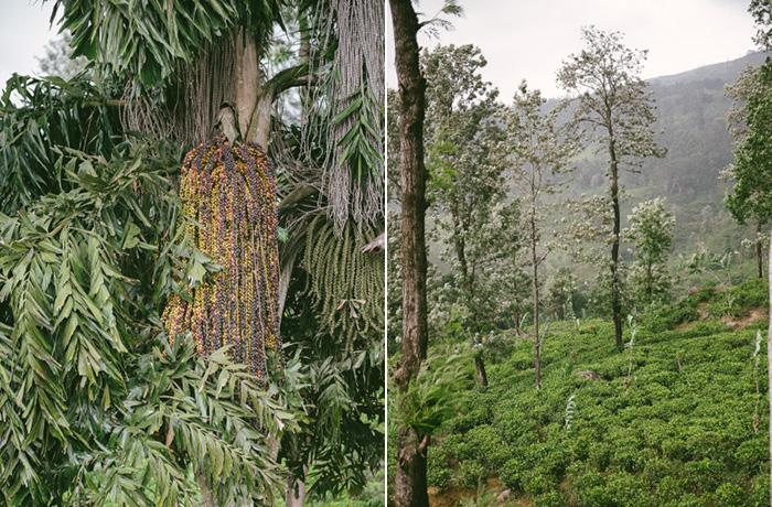 Sri Lanka Teeplantagen Hochland Reiseblog mit Kindern3