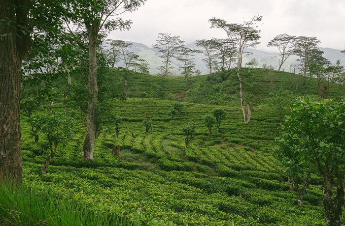 Sri Lanka Teeplantagen Hochland Reiseblog mit Kindern5