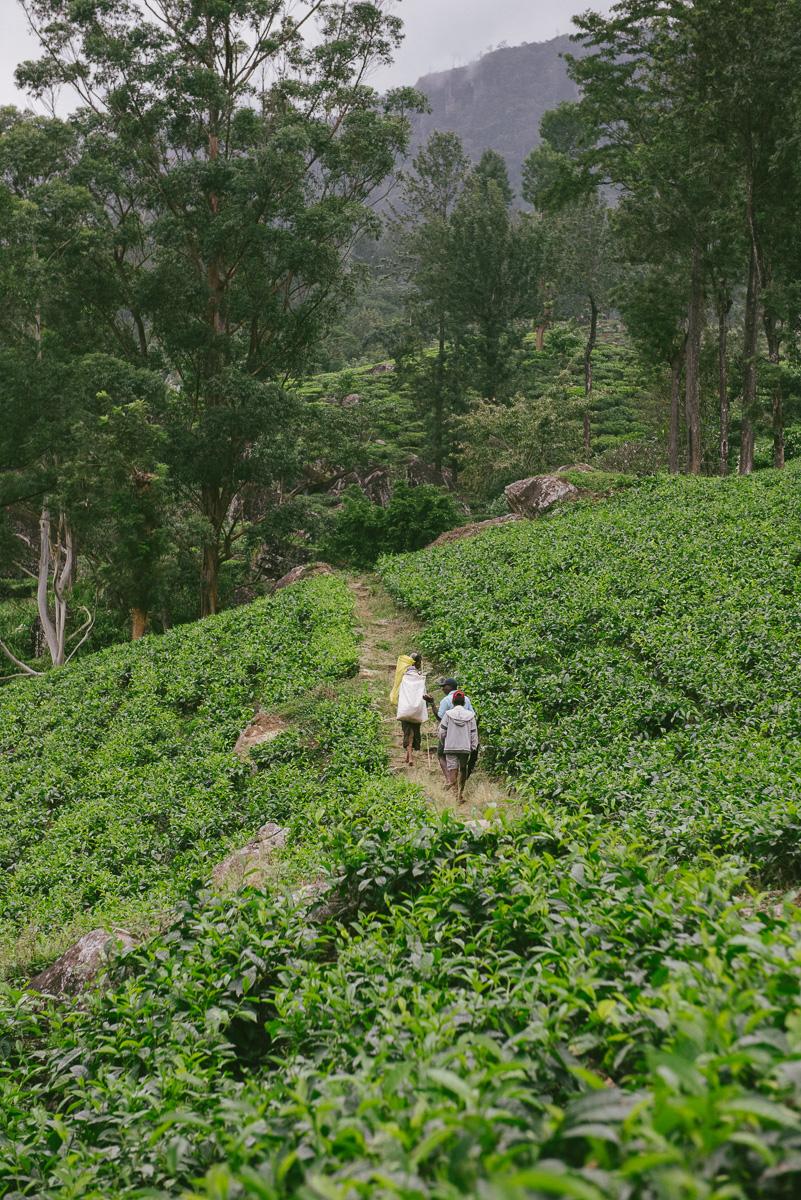 Teeplantaga Madukelle-28
