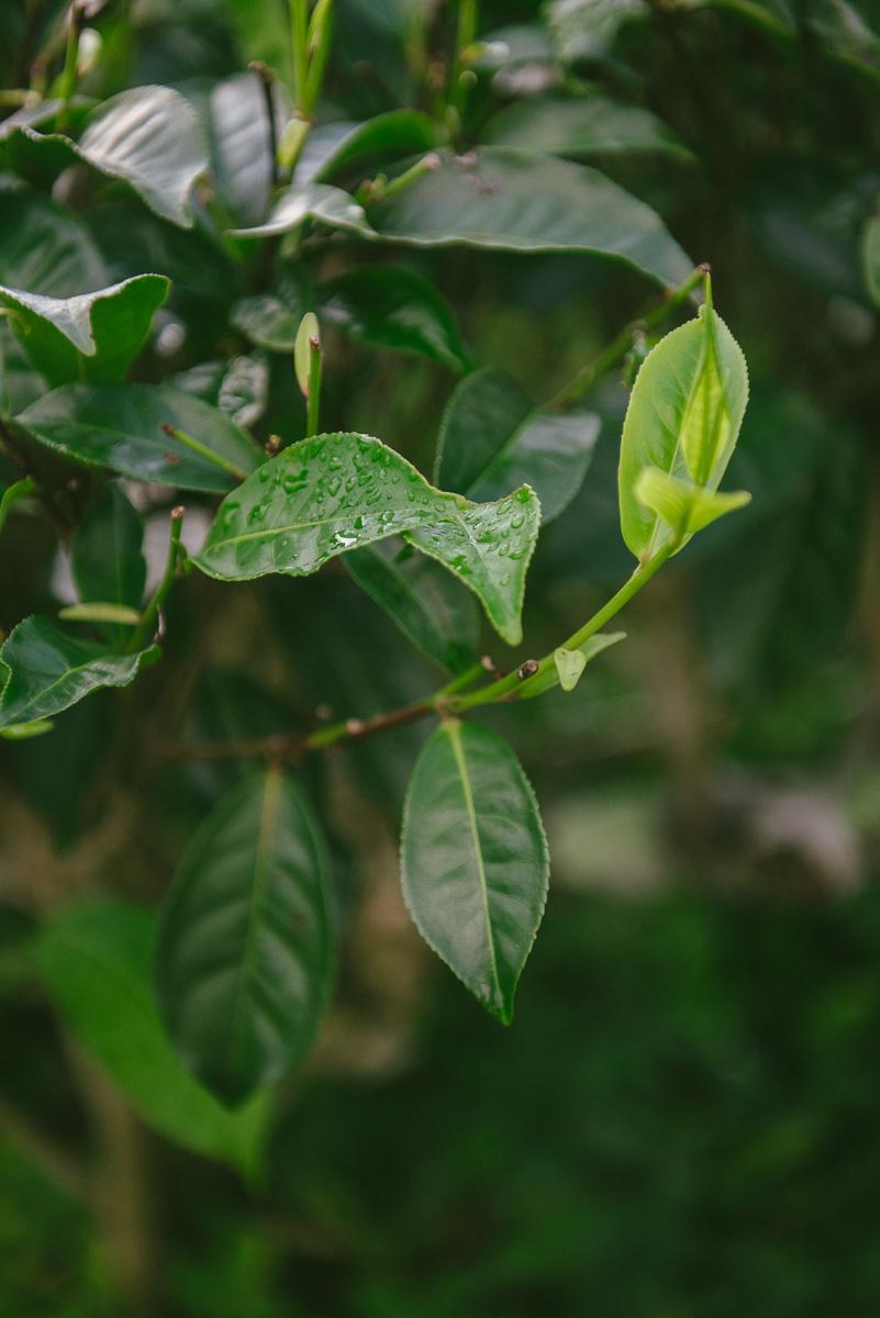 Teeplantaga Madukelle-75